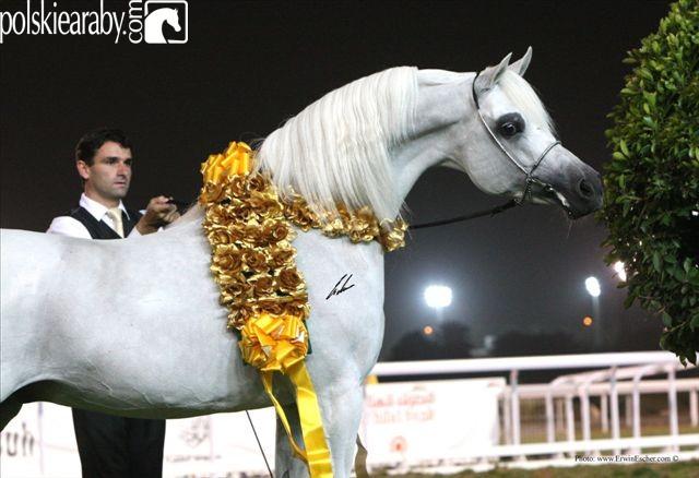 Escape Ibn Navarrone-D, Senior Champion Stallion by Erwin Escher