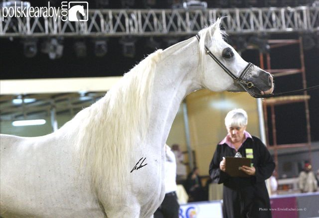 Imperial Baarez - Senior Champion Stallion, by Erwin Escher