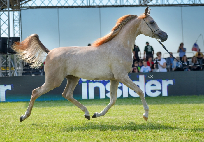 AJ Nurai, Gold Medal Yearling Fillies, by Ewa Imielska-Hebda