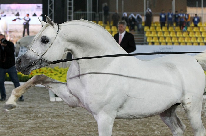Ezz Ezzain, Senior Champion Stallion, Int. Straight Egyptian Festival, by Mateusz Jaworski