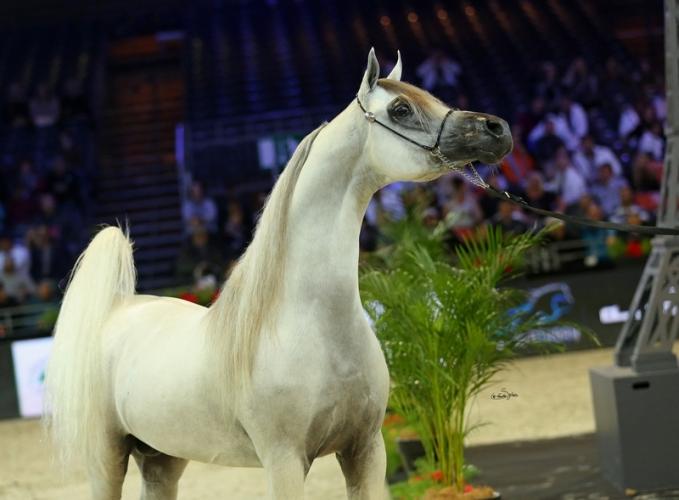 Hariry Al Shaqab, Gold Medal Senior Stallions, by Sylwia Iłenda