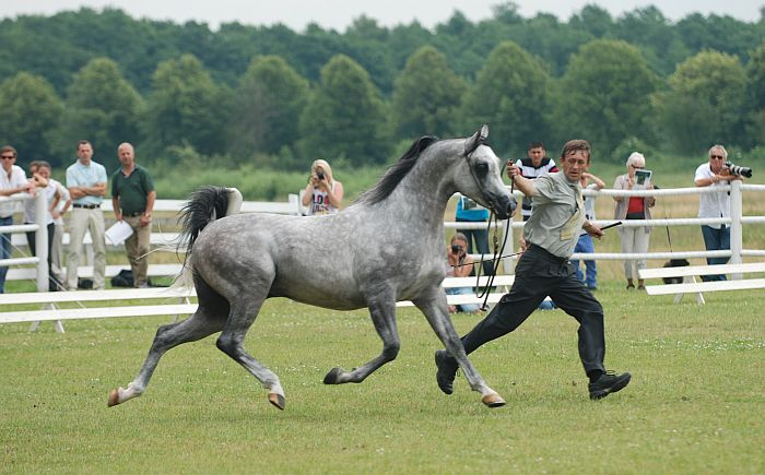 Albano, Gold Medal Senior Stallions & Highest Point of the Show, by Mateusz Jaworski