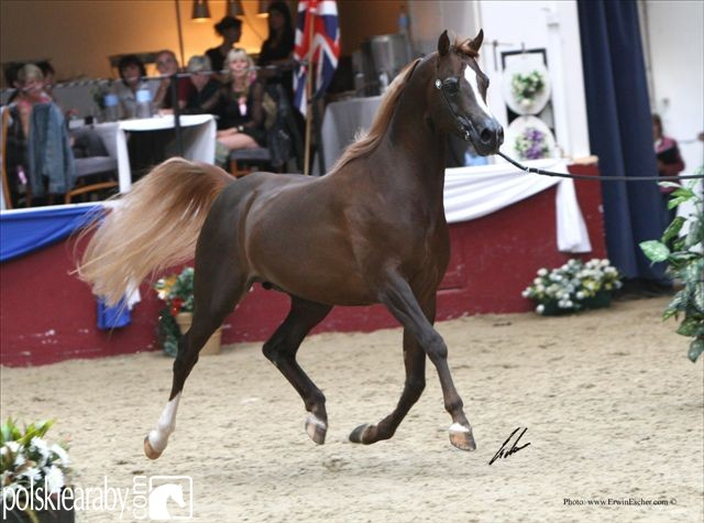 Master Design GA, Champion Stallion  by Erwin Escher