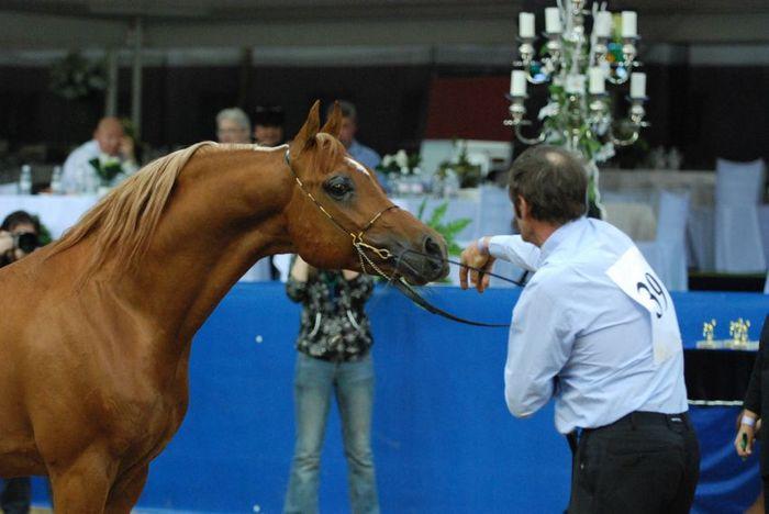 Gasir (Zenith Arabians) by Mateusz Jaworski