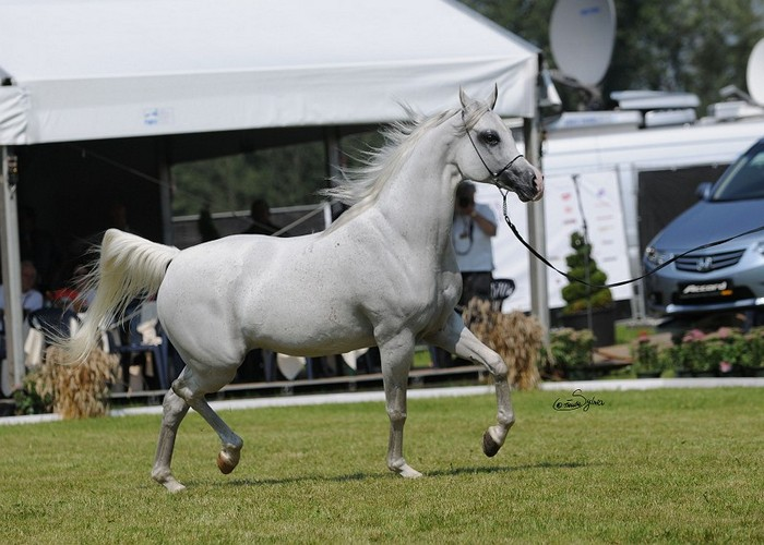 Emmona, Gold Medal Senior Mares & Best in Show & The Highest Scored Mare & The Best Mover, by Sylwia Iłenda