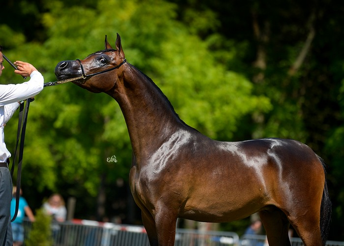 Gold Medal Yearling Colts - Ferrum (Morion - Ferrmaria), by Ewa Imielska-Hebda