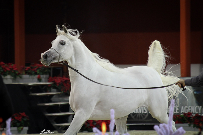 Bess Fa'Izah, Gold Medal Senior Mares, by Lois Rose