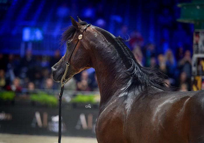 Equator, Gold Medal Senior Stallions, by Ewa Imielska-Hebda