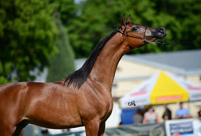 Morion, Gold Medal Yearling Colts & Best in Show, by Ewa Imielska-Hebda