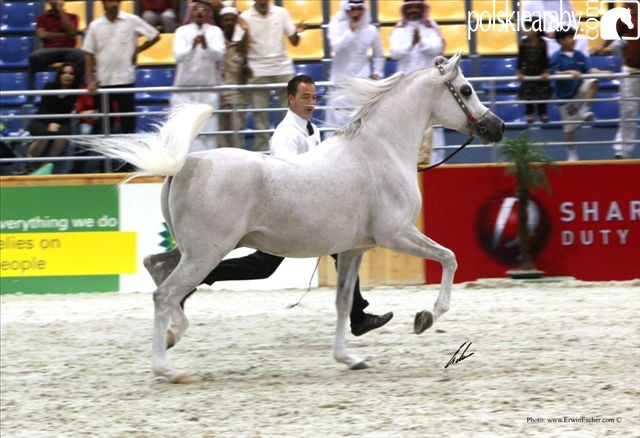 Nijem Ibn Eternity. Senior Champion Stallion by Erwin Escher