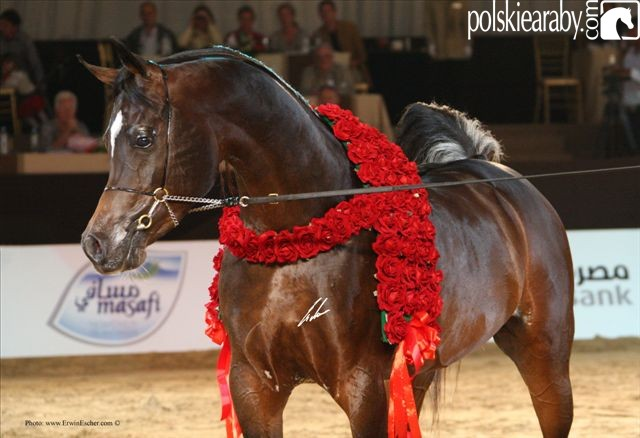 Royal Colours, Gold Champion Stallion by Erwin Escher