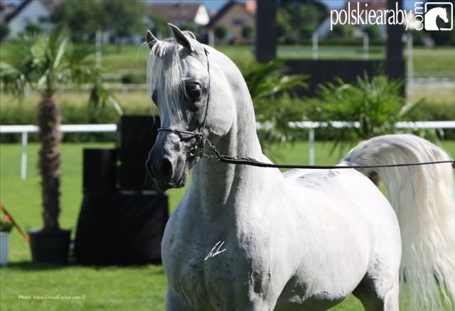 Sandhiran, Gold Champion Stallion by Erwin Escher
