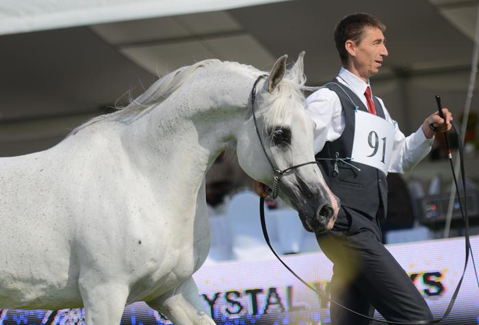 Georgia, Al Khalediah European Arabian Horse Festival 2014, by Ewa Imielska-Hebda