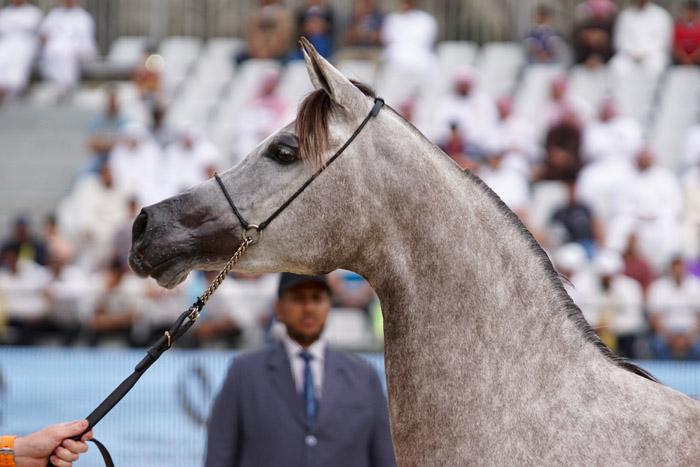 Filena, Asharqia Arabian Horse Classic, fot. Monika Luft