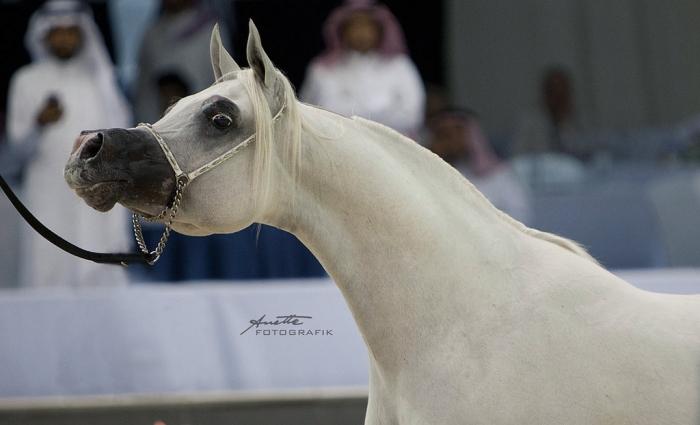 Shanghai EA, Gold Senior Champion Stallion, by Anette FOTOGRAFIK - Anette Varjonen