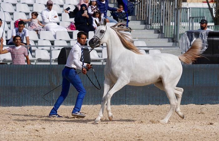 Hayat Al Faris, Asharqia Arabian Horse Classic, by Monika Luft
