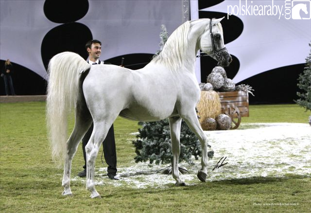 Maydan Madheen - Senior Champion Stallion by Erwin Escher
