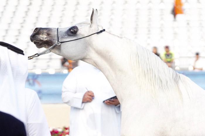 Ameer Al Shakhoura, The Gulf Straight Egyptian Arabian Horse Cup, fot. Monika Luft