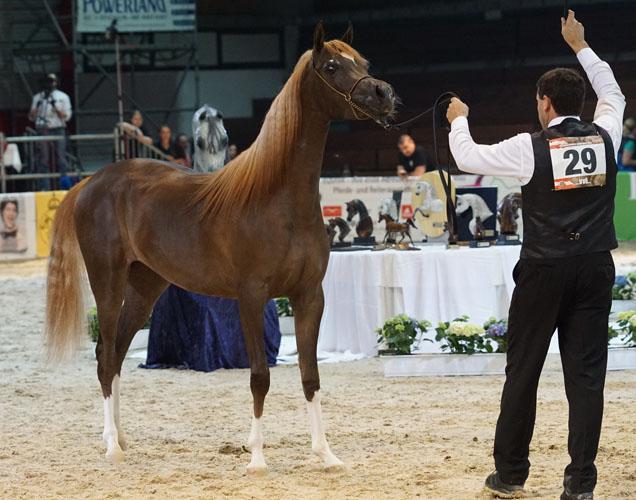 AJ Barari, Bronze Champion Filly, by Krzysztof Dużyński