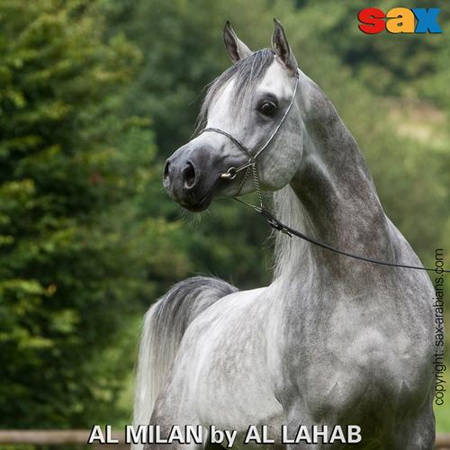 Al Milan, z arch. Sax Arabians