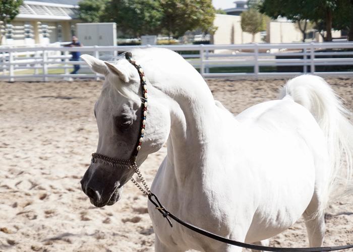 Al Adeed Al Shaqab, fot. Monika Luft