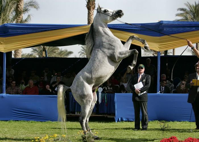 Konie z (innej) bajki. Reportaż z Egiptu