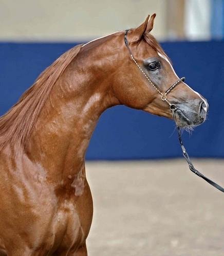 Amalfi by Jos Karouw, arch. Double B Arabians