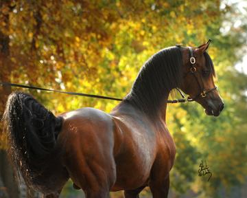 Baske Afire, fot. Stuart Vesty shared by Cedar Ridge Arabians