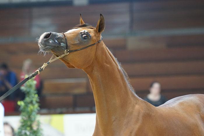 D Safana, Gold Champion Yearling Filly, by Krzysztof Dużyński