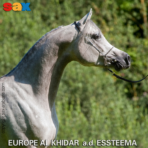 Europe Al Khidar, z arch. Sax Arabians