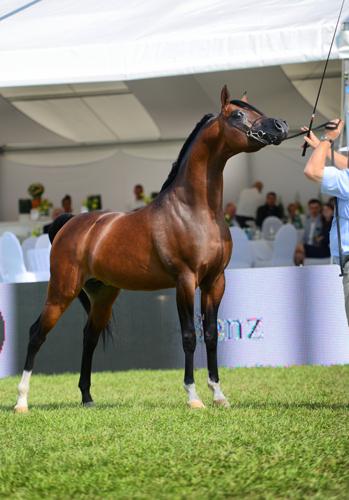 Equator, Al Khalediah European Arabian Horse Festival 2014, fot. Ewa Imielska-Hebda