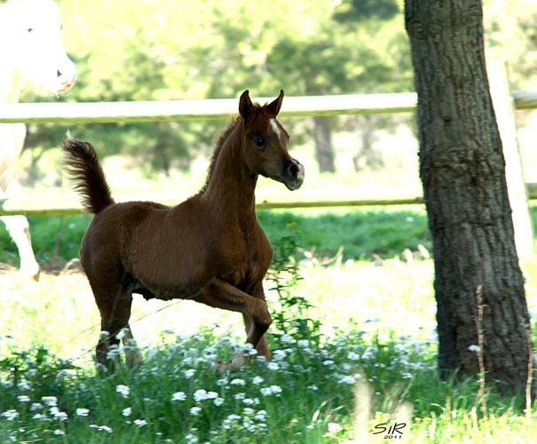 Excalibur E.A. (Shanghai E.A. - Essence of Marwan E.A/Marwan Al Shaqab), fot. z archiwum Equus Arabians