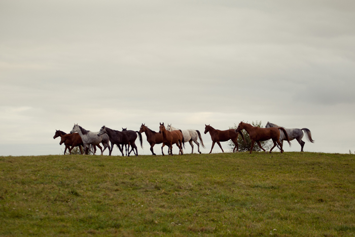 The mares from St Roch Arabians at the pasture in Dobrocin, by Bartosz Modelski