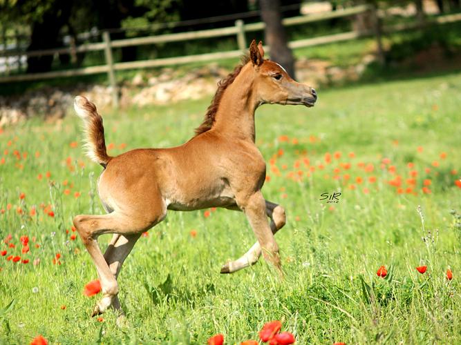 Klaczka La Reina 2012 (Shanghai E.A. - Lamira), hod/wł. Equus Arabians, fot. Ricard Cunill, SiR Photography