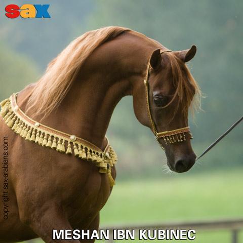 Meshan ibn Kubinec, z arch. Sax Arabians