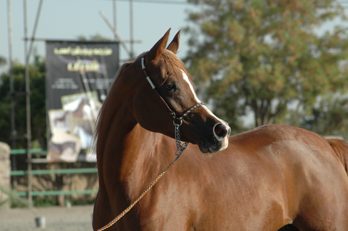 Magnum Psyche daugher, res. champion mare, Iranian Nationals. Archive photo