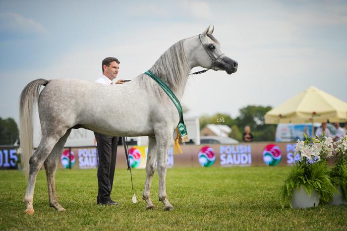 Al Khalediah European Arabian Horse Festival 2015. Nasza relacja w dziale Pokazy