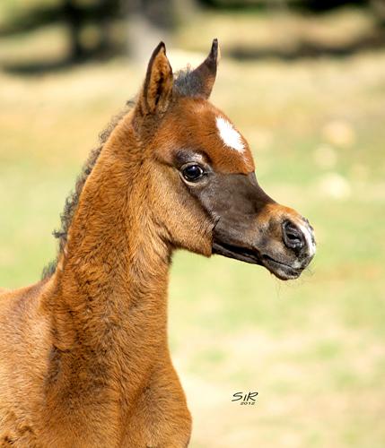 Ogierek Mississipi EA 2012 (Shanghai E.A. - Nedraska Kossack), hod/wł. Equus Arabians, fot. Ricard Cunill, SiR Photography