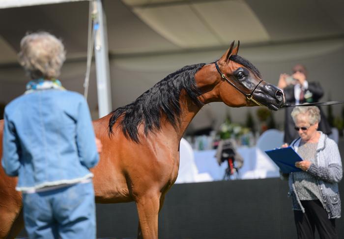 Mounira J, Al Khalediah European Arabian Horse Festival 2014, fot. Ewa Imielska-Hebda