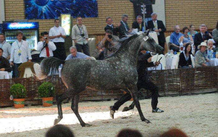 Najdroższy koń tegorocznej aukcji - Pinta, fot. Mateusz Jaworski