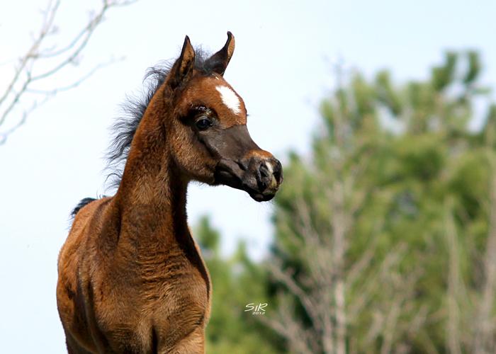 Klaczka Nayade EA 2012 (Shanghai E.A. - Naif E.A.), hod/wł. Equus Arabians, fot. Ricard Cunill, SiR Photography
