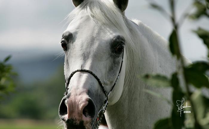 Pesal. Konie żyją stanowczo za krótko!
