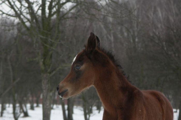 Etrykant z SK Petronius Arabians, fot. Paweł Dąbkowski