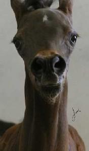 źrebię od Pianissimy, fot .arch. Brookville Arabians