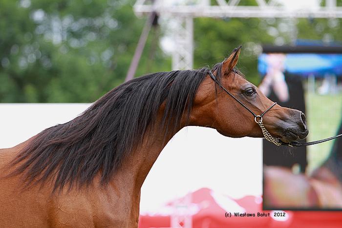 Relacja z Dni Konia Arabskiego 2012 w dziale Pokazy. Zobacz zdjęcia koni oraz kronikę towarzyską!