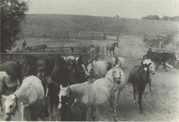 Polskie konie w Nettelau, 1945, fot, archiwum