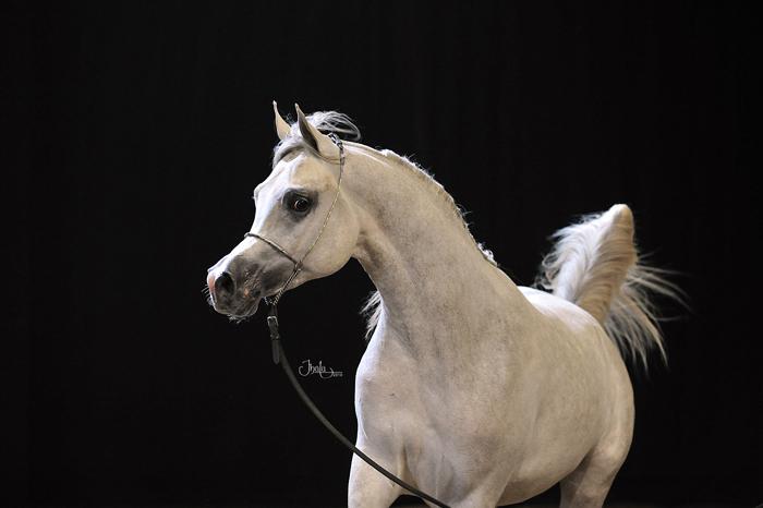 Shanghai E.A. jako dwulatek, fot. z archiwum Equus Arabians