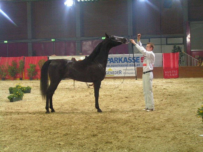 Tomasz Jakubowski prezentuje Sortisa w Wels, fot. arch. Silvatica Black Arabians