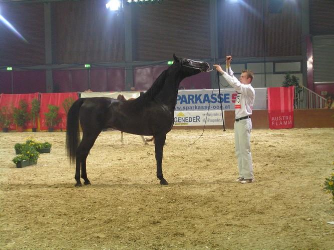Sortis w Wels, fot. archiwum stadniny Silvatica Black Arabians