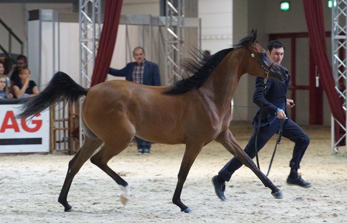 Sylvatika K.A., Gold Champion Filly, by Krzysztof Dużyński